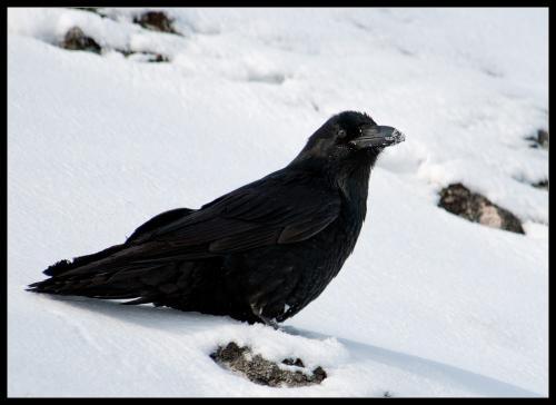 373-raven